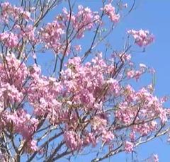 Flores de Ipê 2
