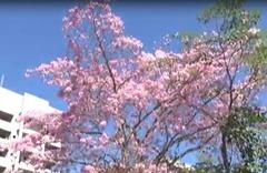 Flores de Ipê 4